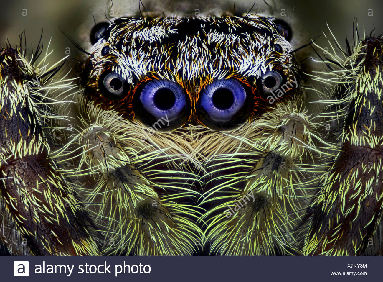 Springspinne, Spring-Spinne (Salticidae), Portraet | Jumping spider (Salticidae), portrait | BLWS418982.jpg [ (c) blickwinkel/F. - Stock Image