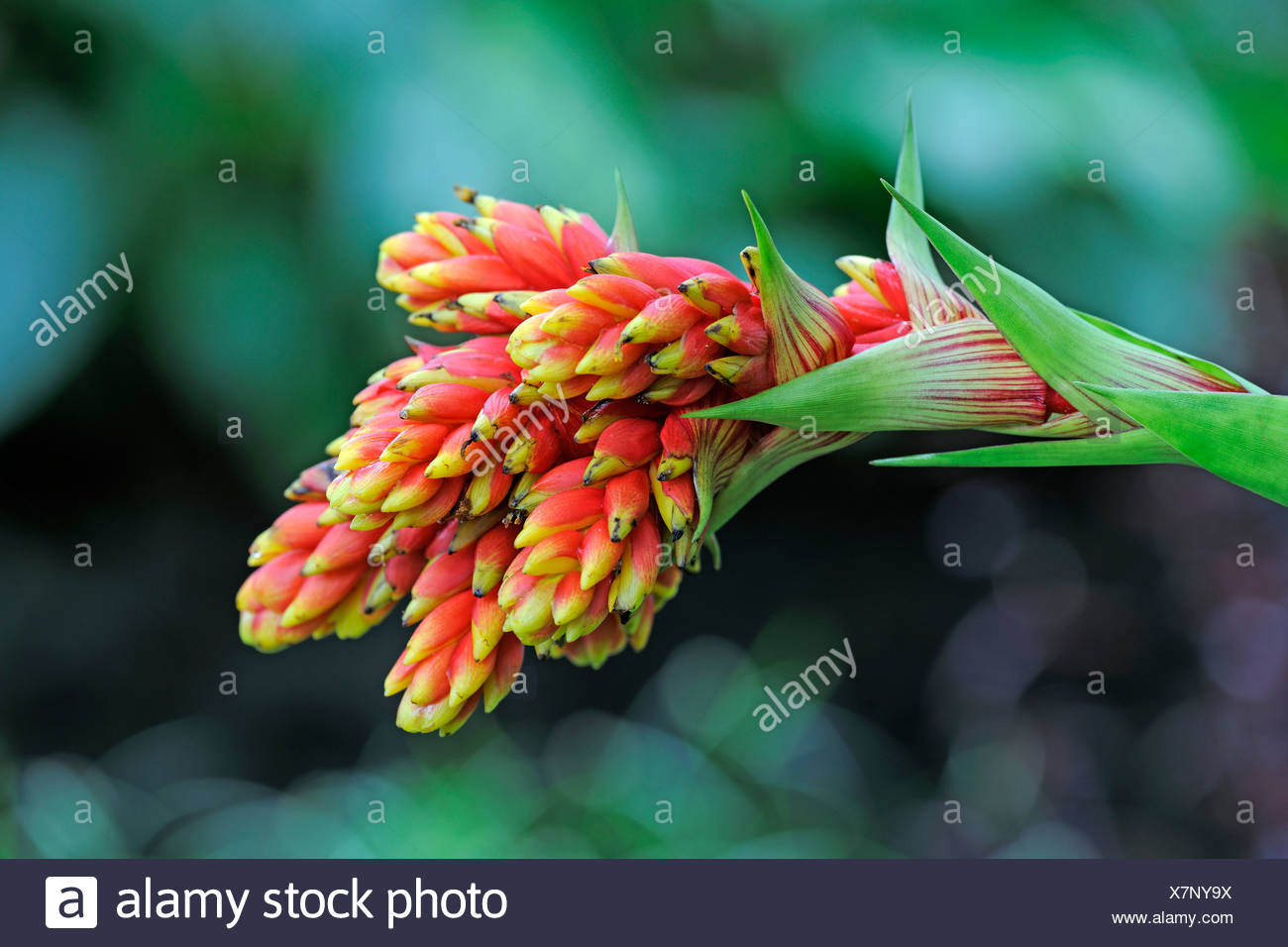 Reddish-yellow Guzmania (Guzmania rubrolutea), Ecuador - Stock Image