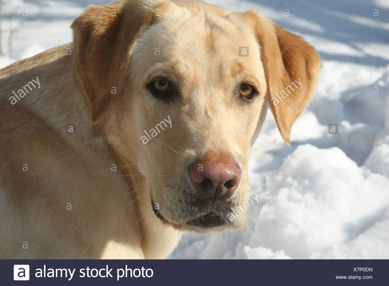 Labrador Retriever Canis Lupus Familiaris Feldberg Feldberger Seenlandschaft Mecklenburg Vorpommern Germany Stock Photo Alamy