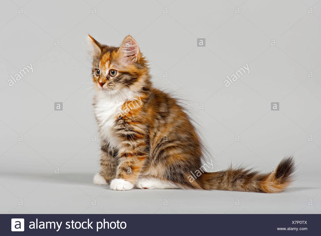 Siberian Forest Cat, kitten, 7 weeks Stock Photo