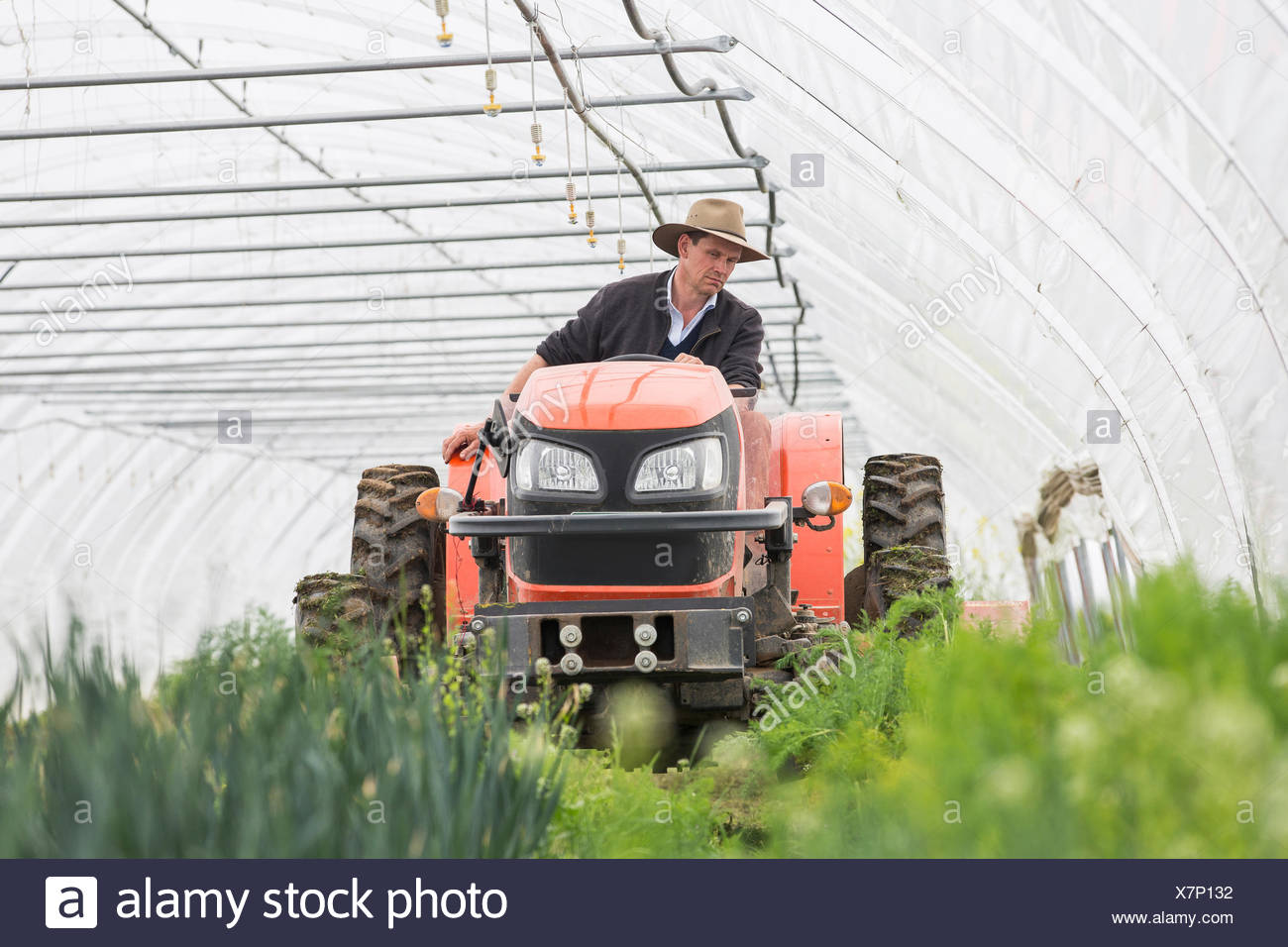 Farmer driving tractor in polytunnel - Stock Image