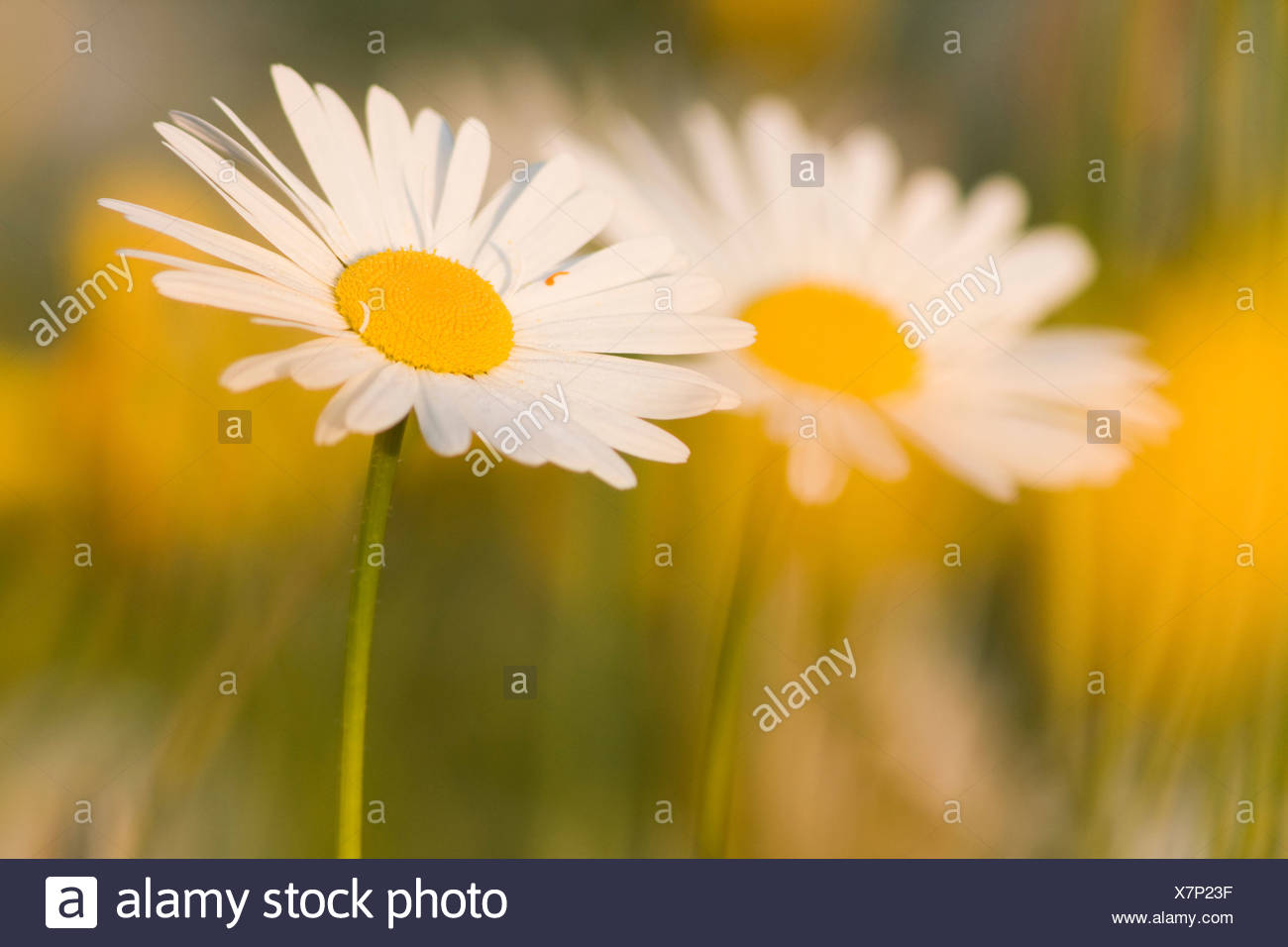 Parts flowers daisies stock photos parts flowers daisies stock daisies leucanthemum stock image izmirmasajfo