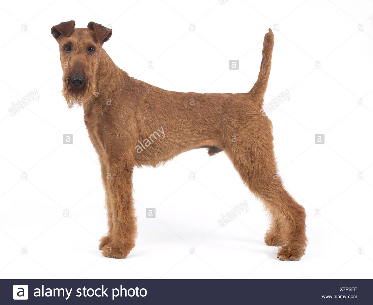 An irish terrier standing. - Stock Image
