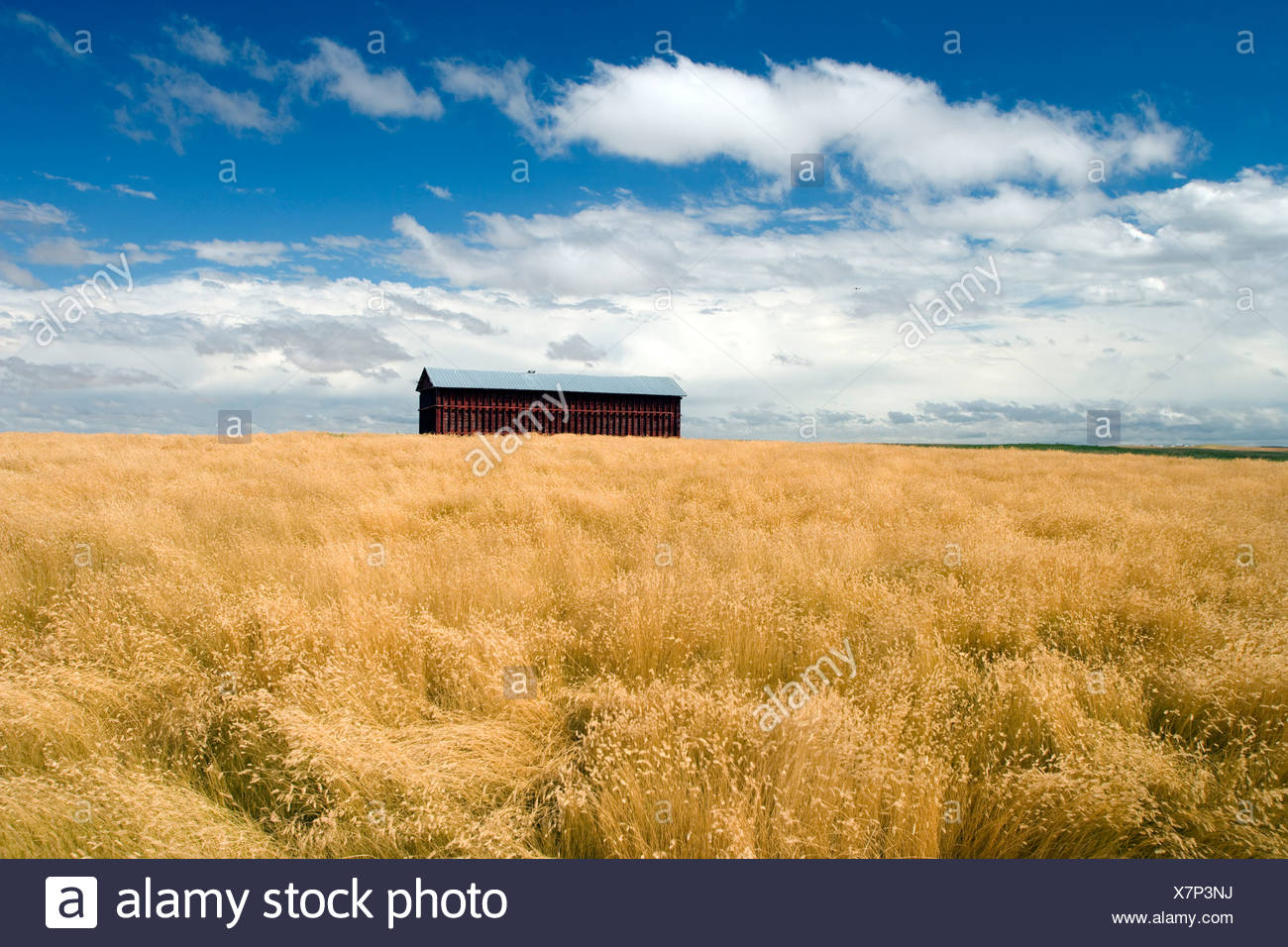 Barn in grainfield near Crowfoot Ferry, Alberta, Canada, agriculture - Stock Image