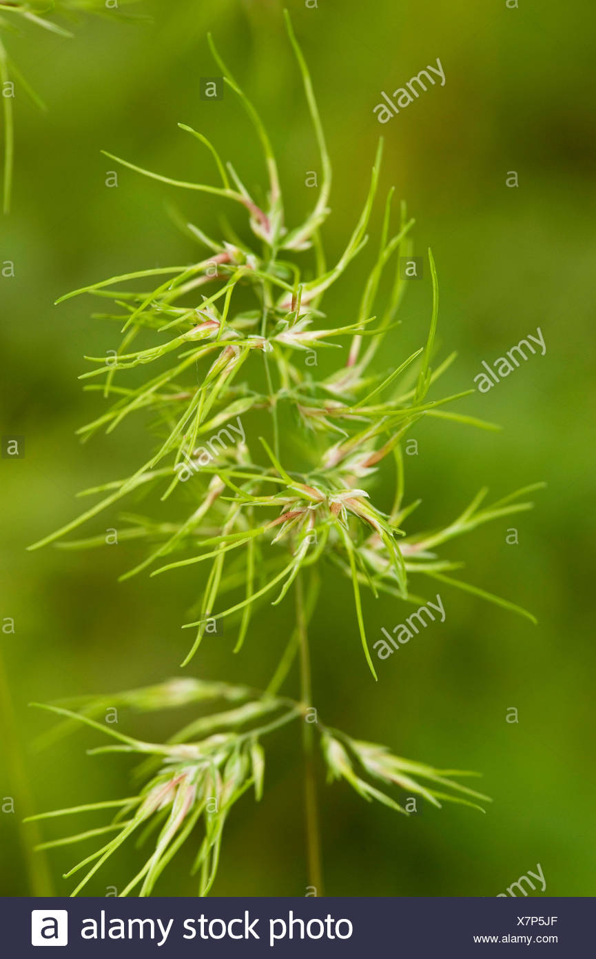 Bulbous meadow-grass (Poa bulbosa), live bearing panicle, Germany - Stock Image