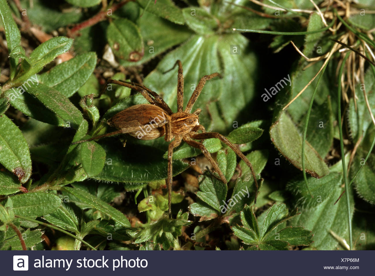 nursery web spider, fantastic fishing spider (Pisaura mirabilis), on a leaf, Germany - Stock Image