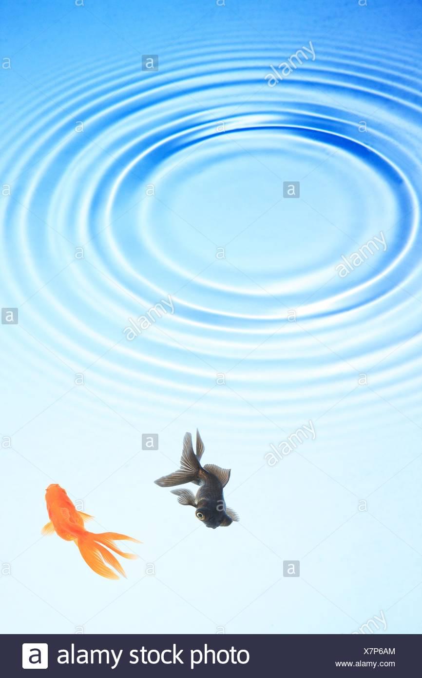 Two goldfish swimming under ripples in water, Japan, Fukushima - Stock Image