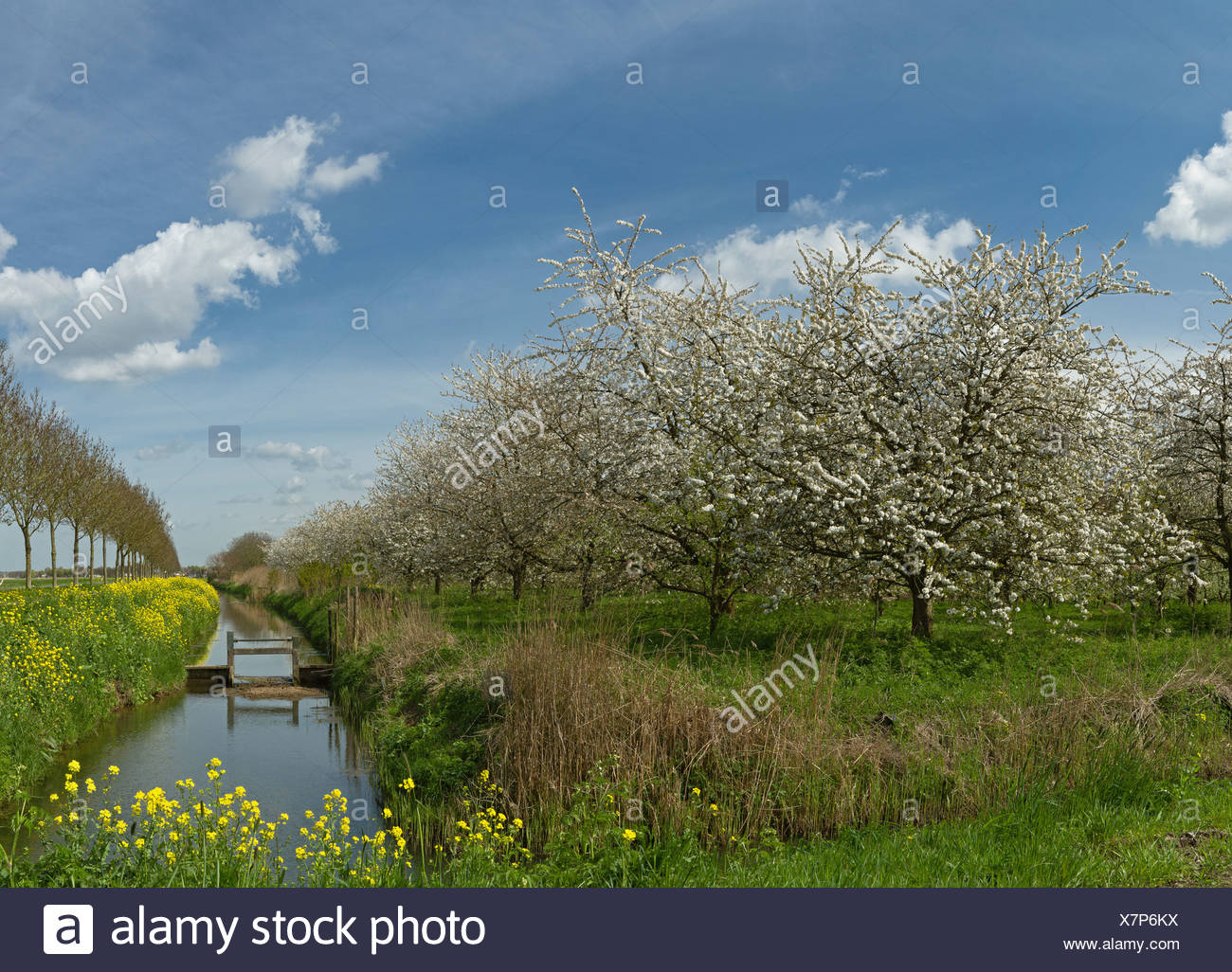 Holland, Netherlands, Europe, Dalem, Fruit trees, bloom, blooming, landscape, forest, wood, trees, spring, flowers, - Stock Image