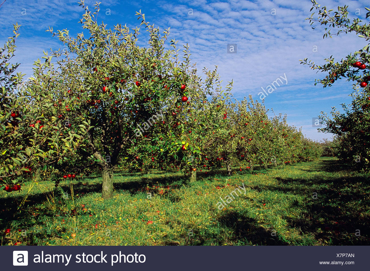 Agriculture - Red Delicious apple orchard in early autumn; trees loaded with fruit ready for harvest / Northern Illinois, USA. - Stock Image