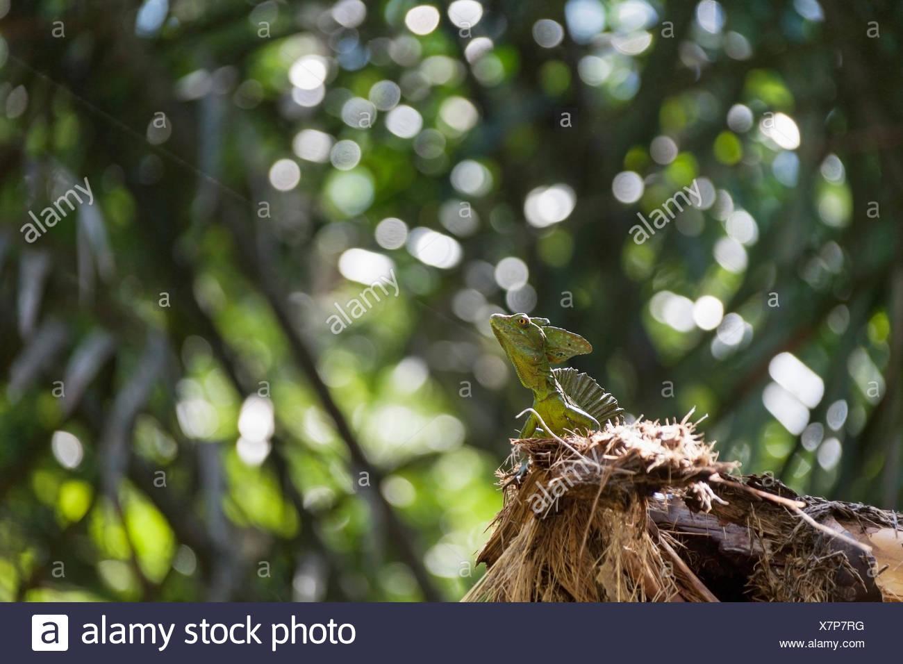 Plumed basilisk lizard in national park, Costa Rica Stock Photo