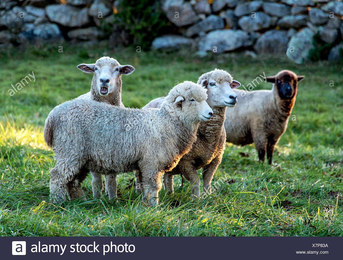 Sheep in a pasture, Martha's Vineyard, Massachusetts, USA - Stock Image