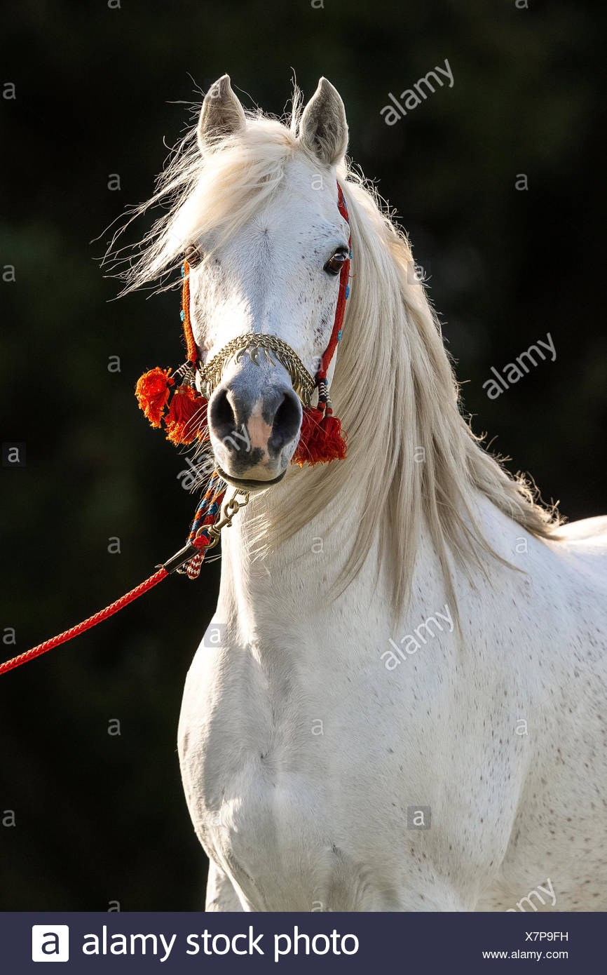 White Arabian stallion, portrait with traditional decorated halter - Stock Image