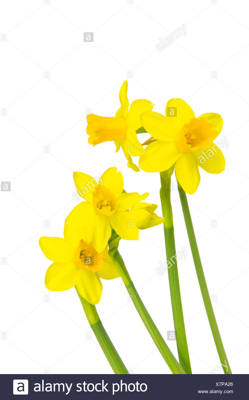 Blühende Narzissen Osterglocken im Frühling Stock Photo