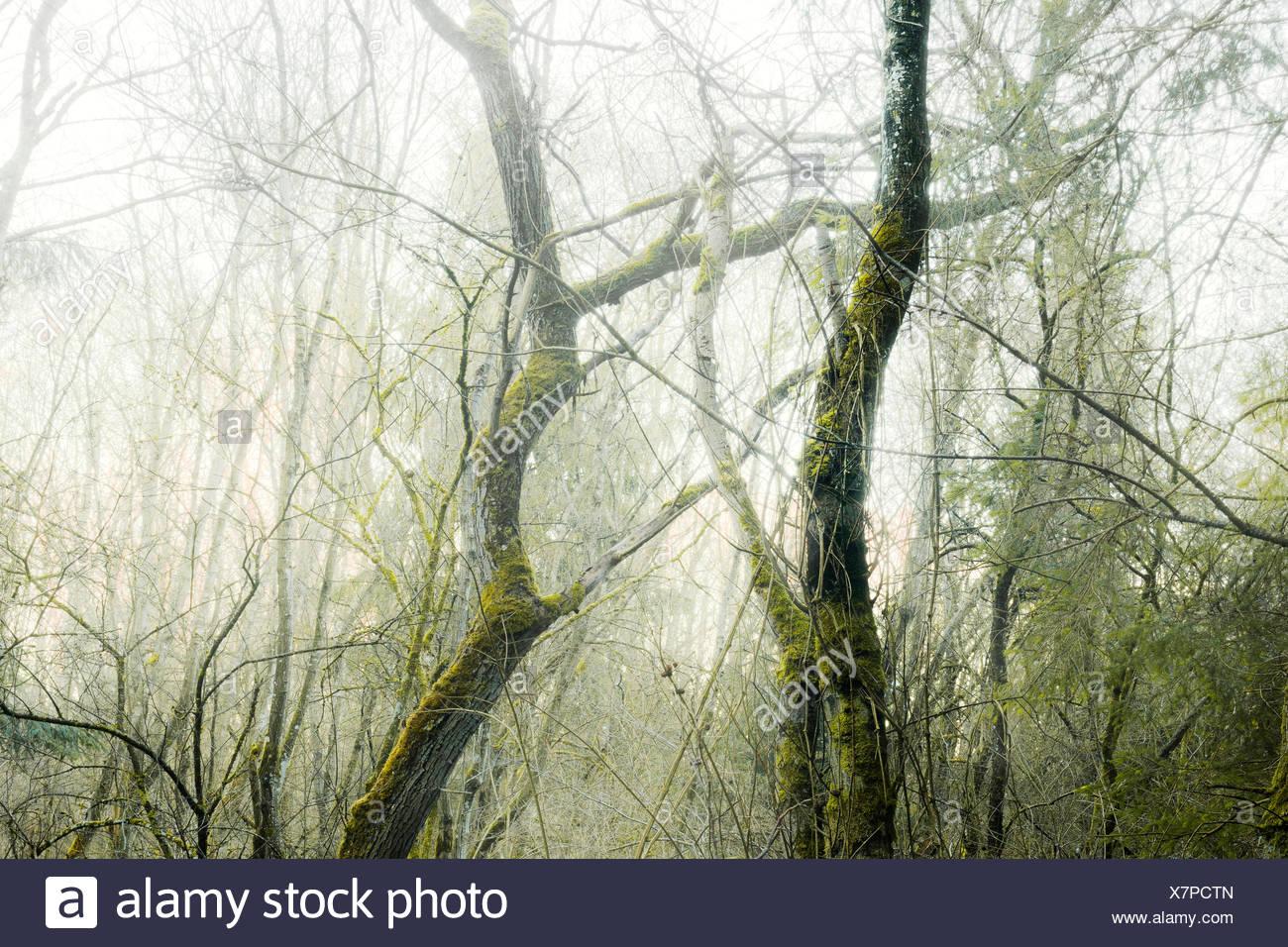 Wood, tree, moss, mystical, gloomy, green, morning, fog, old, creating, Germany, Bavaria - Stock Image