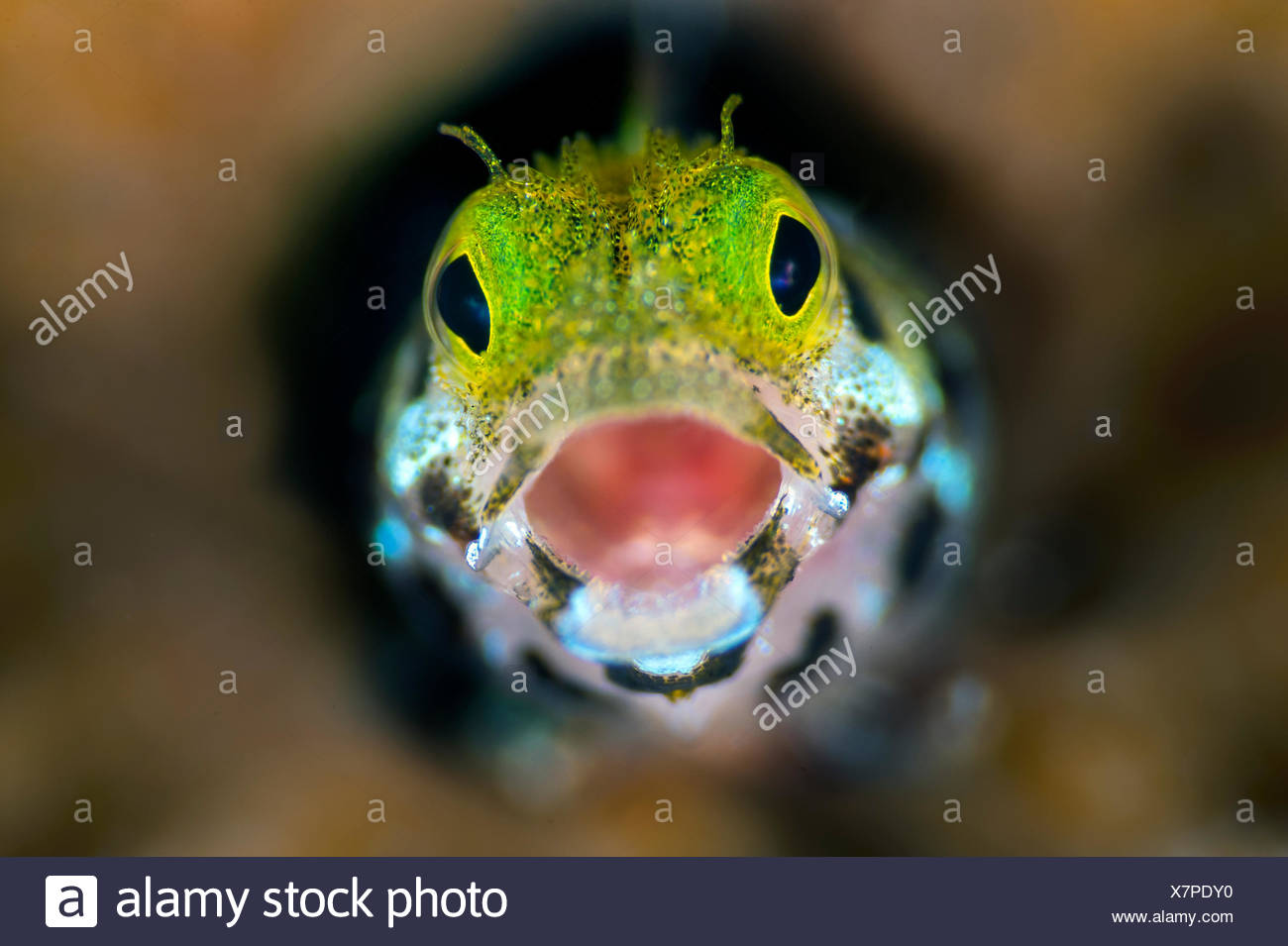 Secretary blenny (Acanthemblemari maria) yawns as it peers out from a hole in the reef. West Bay, Grand Cayman, Cayman Islands, British West Indies. Caribbean Sea. - Stock Image