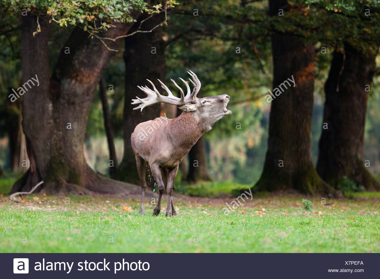 Red deer (Cervus elaphus) belling, Germany, Europe - Stock Image