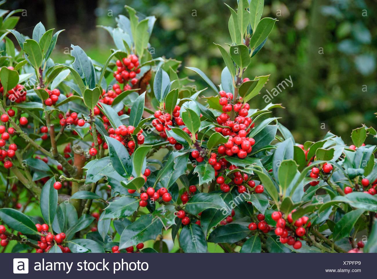 common holly, English holly (Ilex aquifolium 'JC van Tol', Ilex aquifolium JC van Tol), cultivar JC van Tol - Stock Image