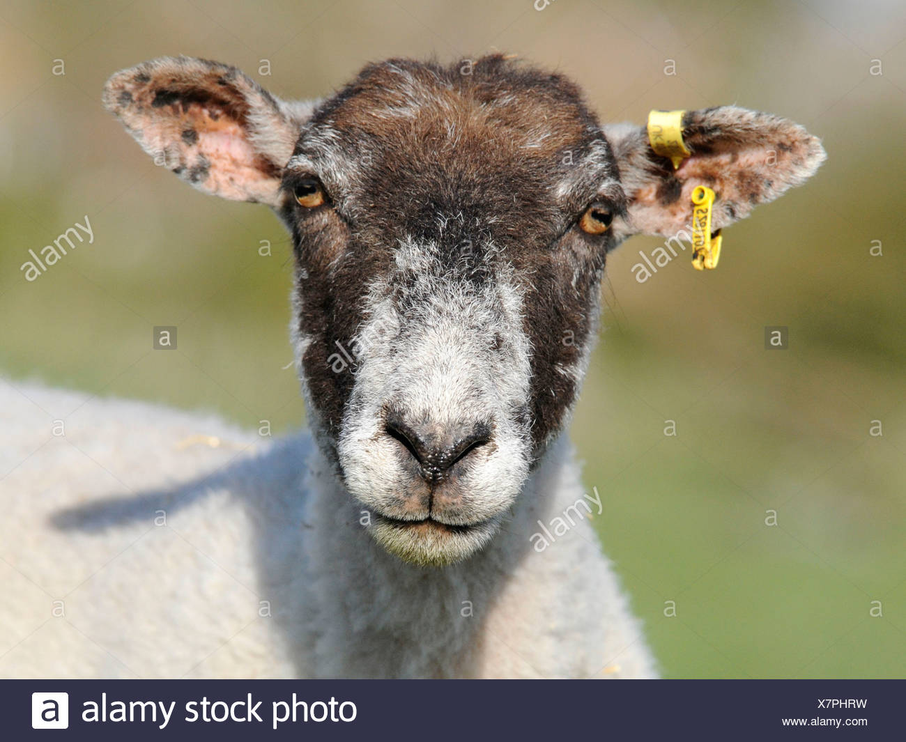 A portrait of a sheep looking serious, tagged and wearing an ear clip. Stock Photo