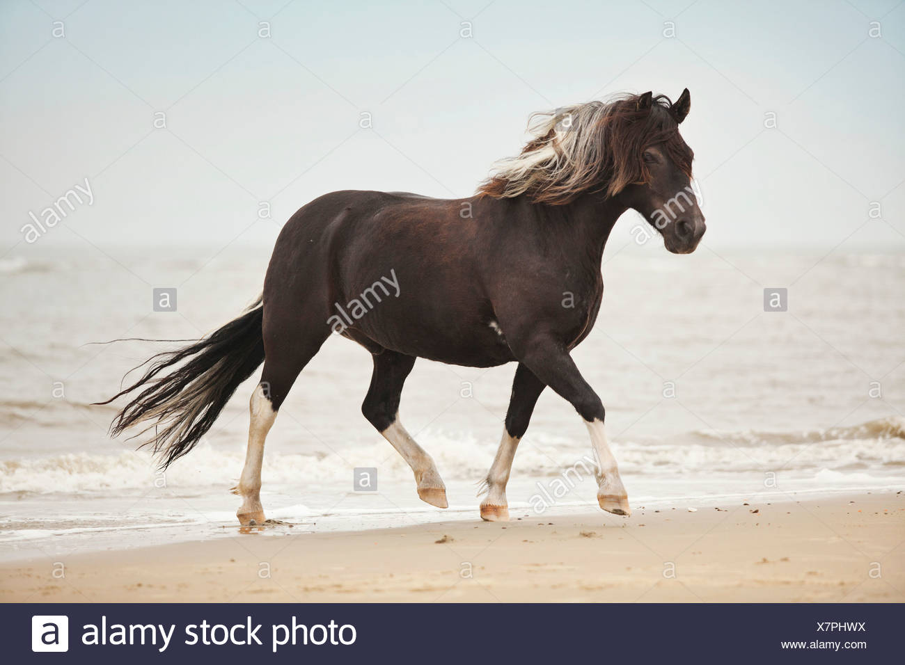 Lewitzer gelding, pony, running at a trot while roaming free on the beach of Borkum, Lower Saxony, Germany - Stock Image