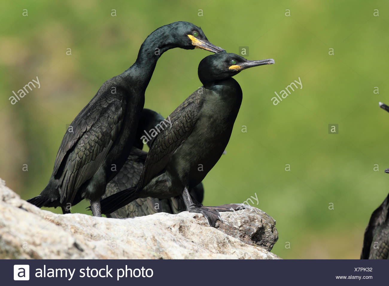 Shags  in Norway - Stock Image