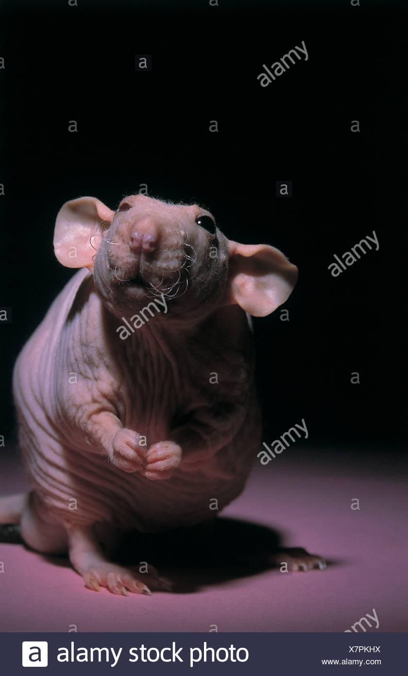 FL3130, KITCHIN/HURST; Close-up  hairless rat - Stock Image