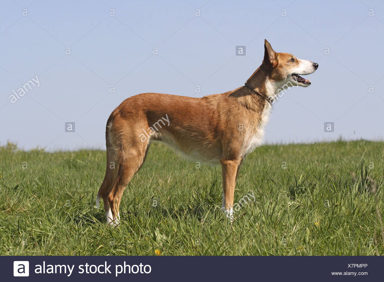 Canarian Warren Hound (Canis lupus f. familiaris), standing on meadow Stock Photo