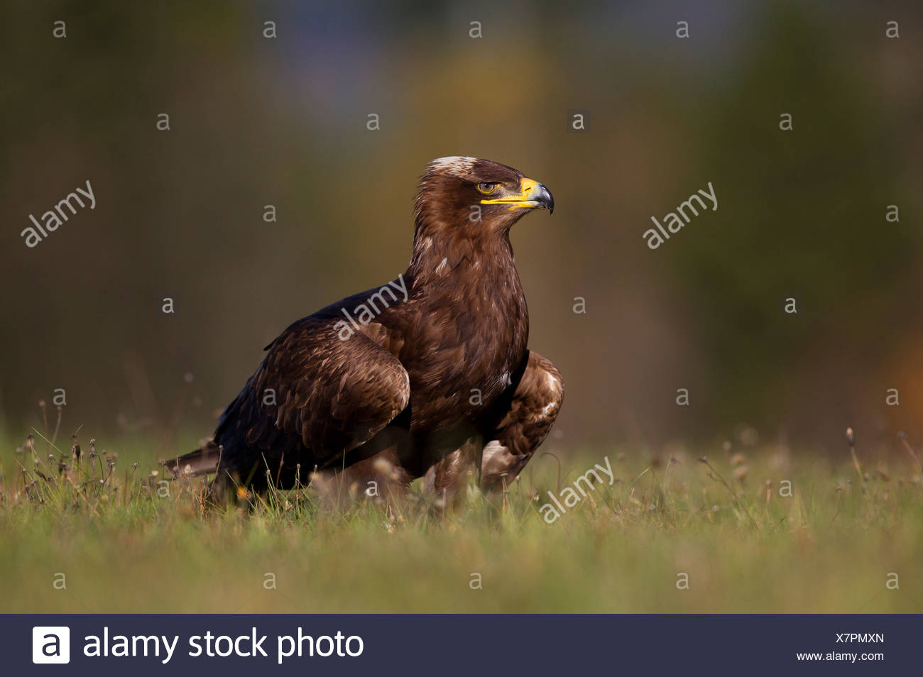 Steppe Eagle (Aquila nipalensis), falconry bird - Stock Image