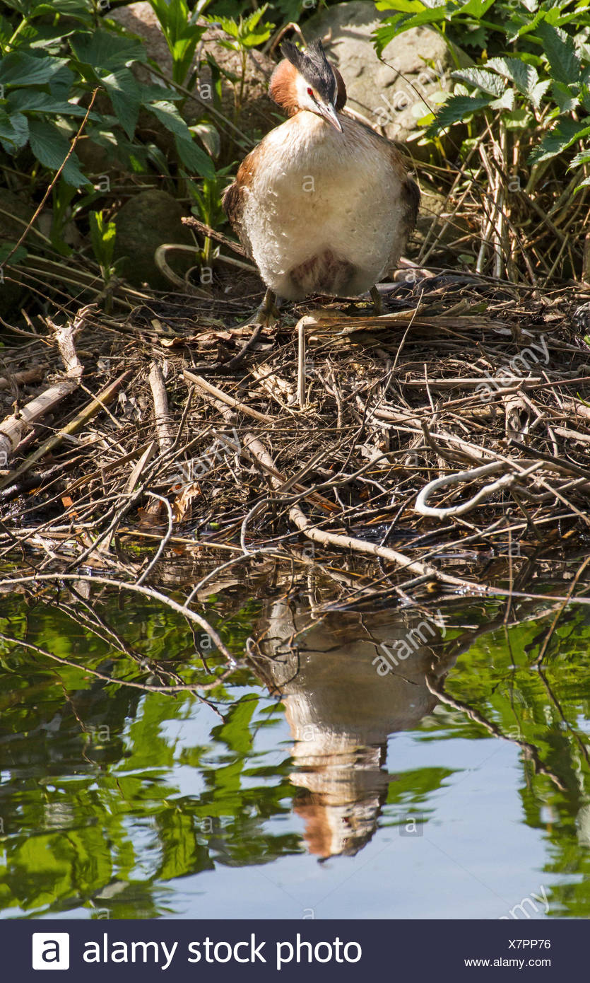 great crested grebe (Podiceps cristatus), great crested grebe with brood patch on nest, Germany - Stock Image