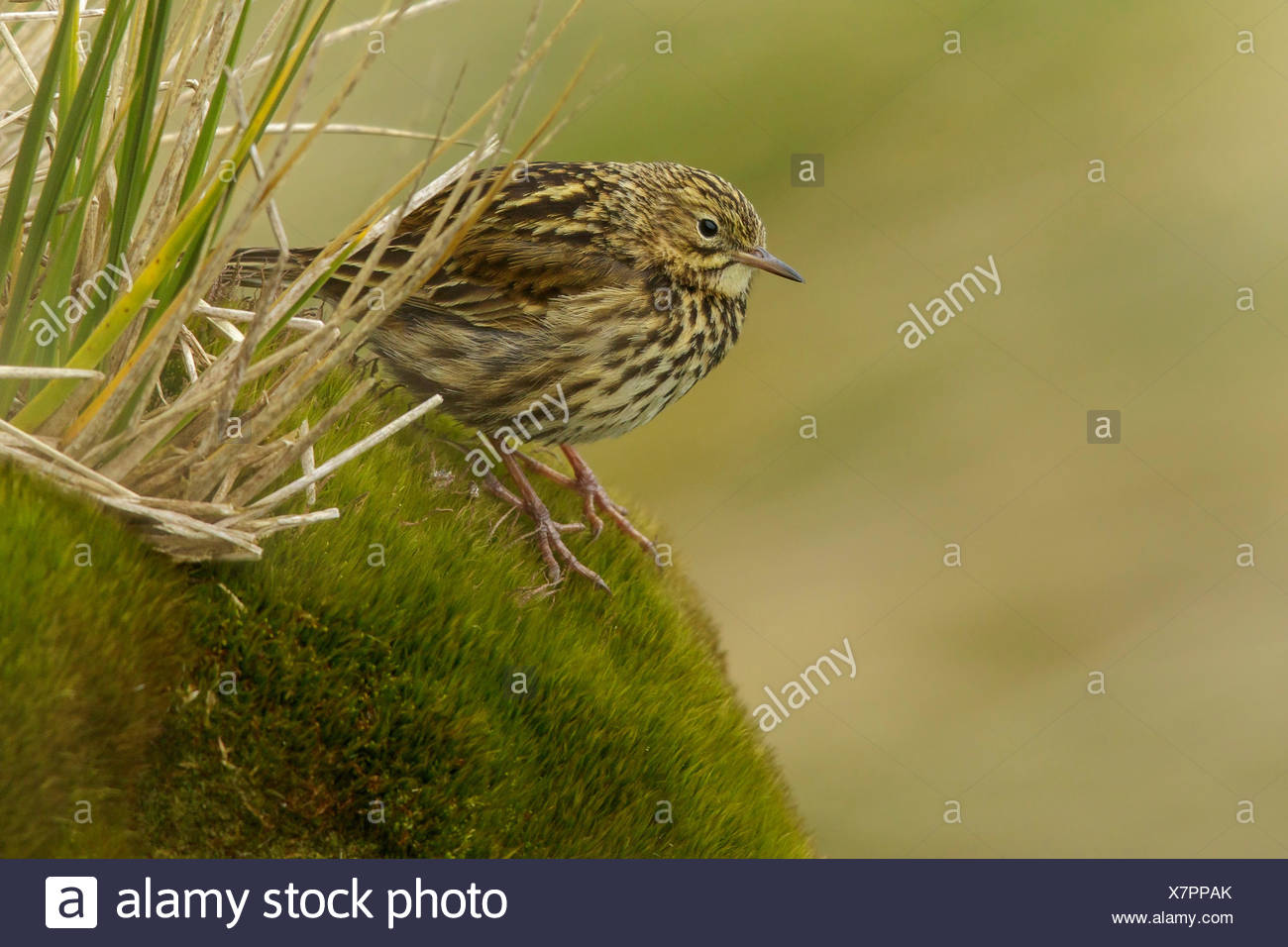 South Georgia Pipit (Anthus antarcticus) perched on tussock grass on South Georgia Island. - Stock Image
