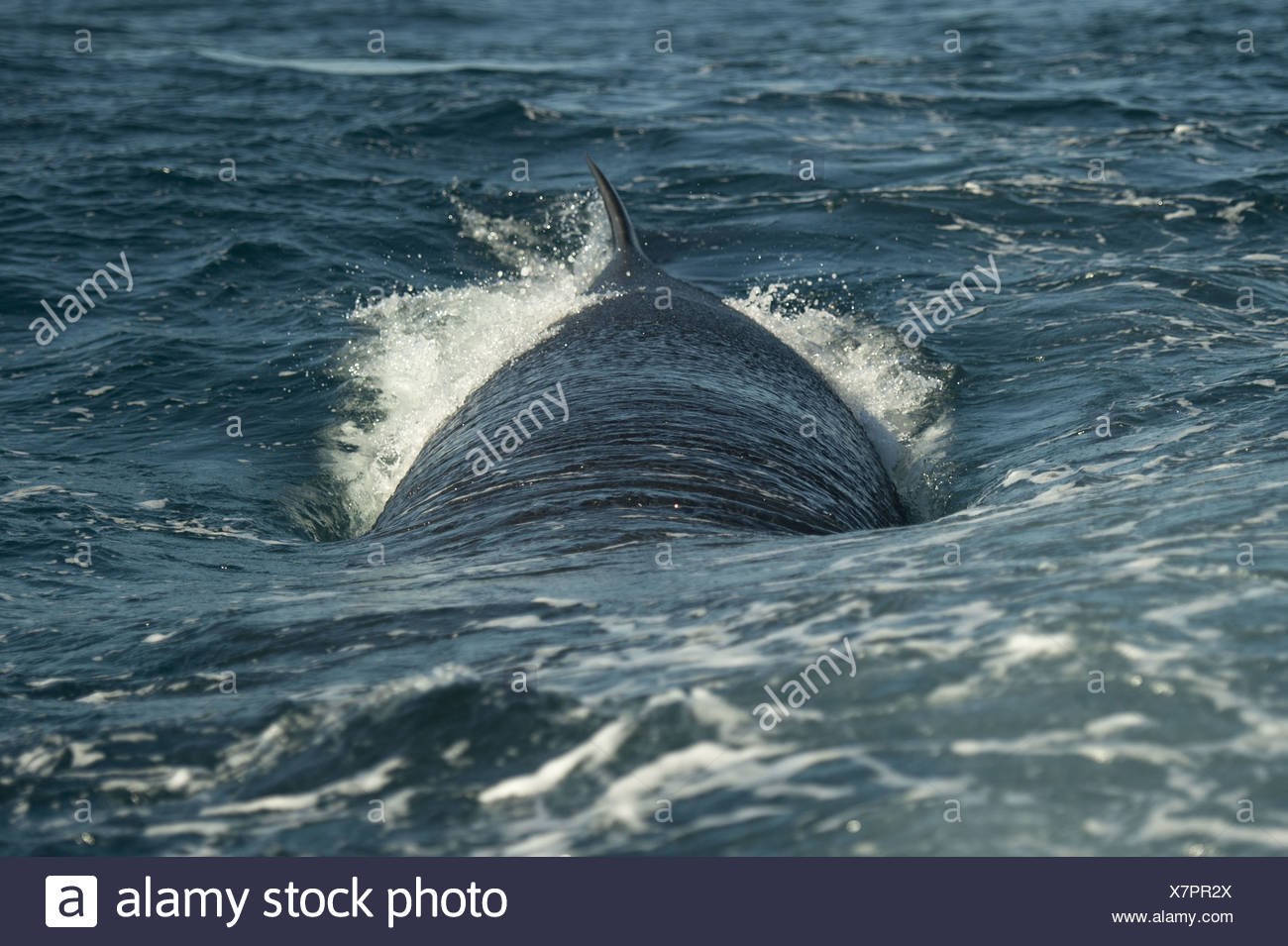 Bryde's Whale Balaenoptera edeni adult swimming sea surface offshore Port St. Johns Wild Coast Eastern Cape Transkei South - Stock Image