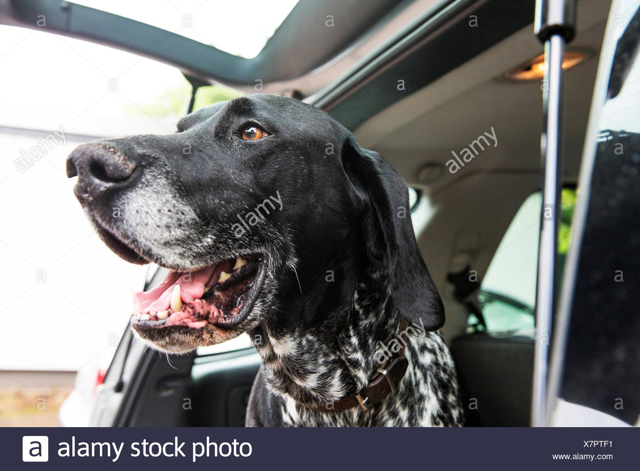 Portrait of German Shorthaired Pointer in opened car boot - Stock Image