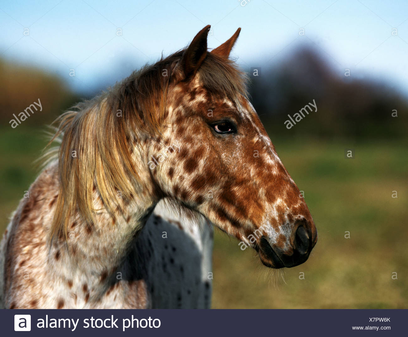 Appaloosa Horse Stock Photos & Appaloosa Horse Stock Images