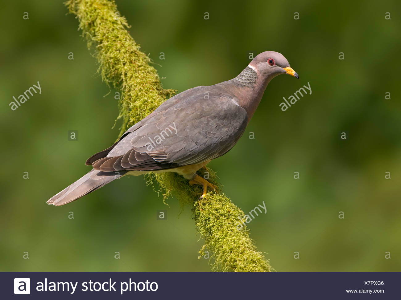 Band-tailed Pigeon (Patagioenas fasciata) on perch Victoria BC, Canada - Stock Image