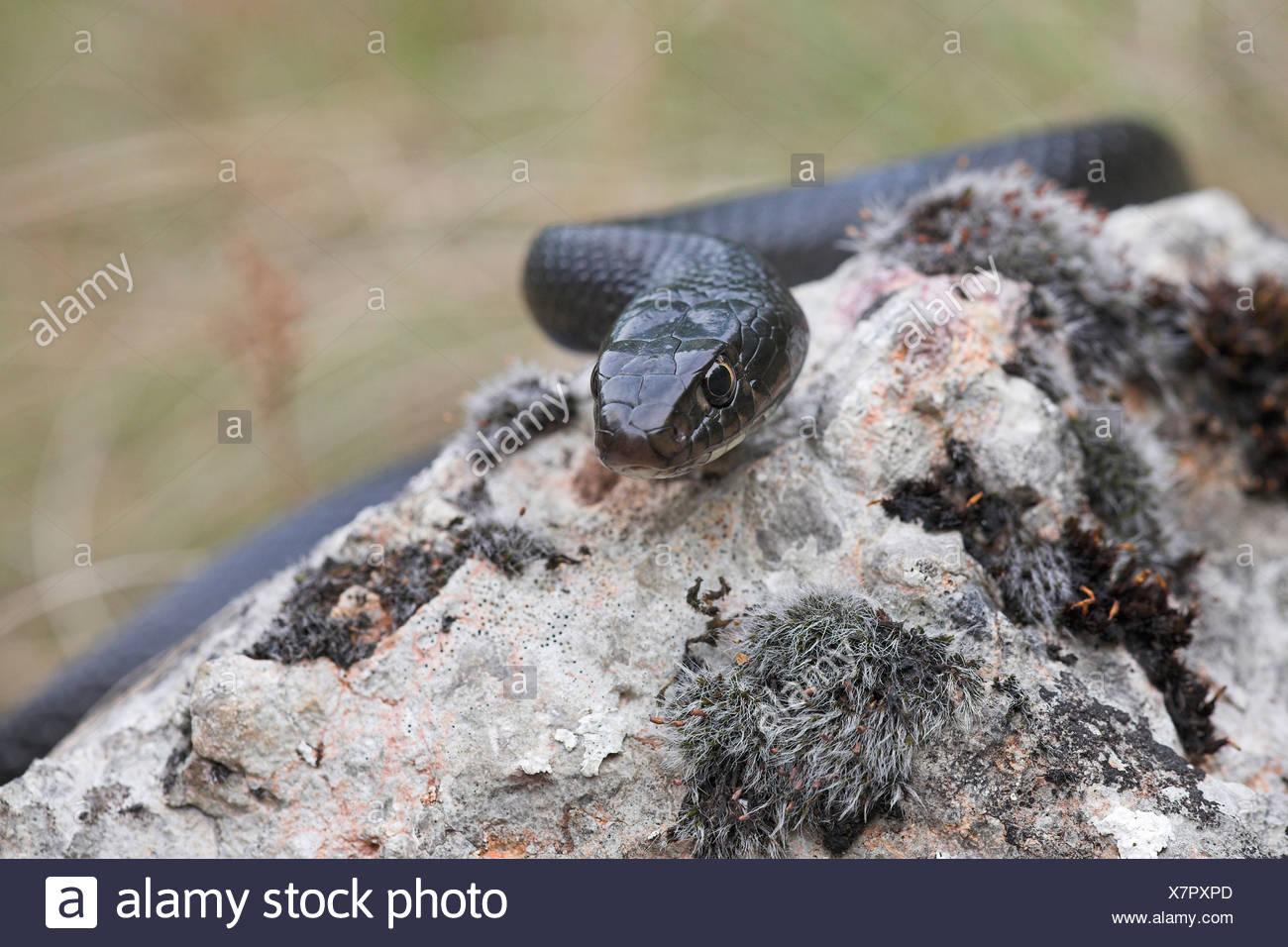 Portret van een zwarte fase Geelgroene toornslang; Portret of a black subspecies of the Western whip snake; - Stock Image