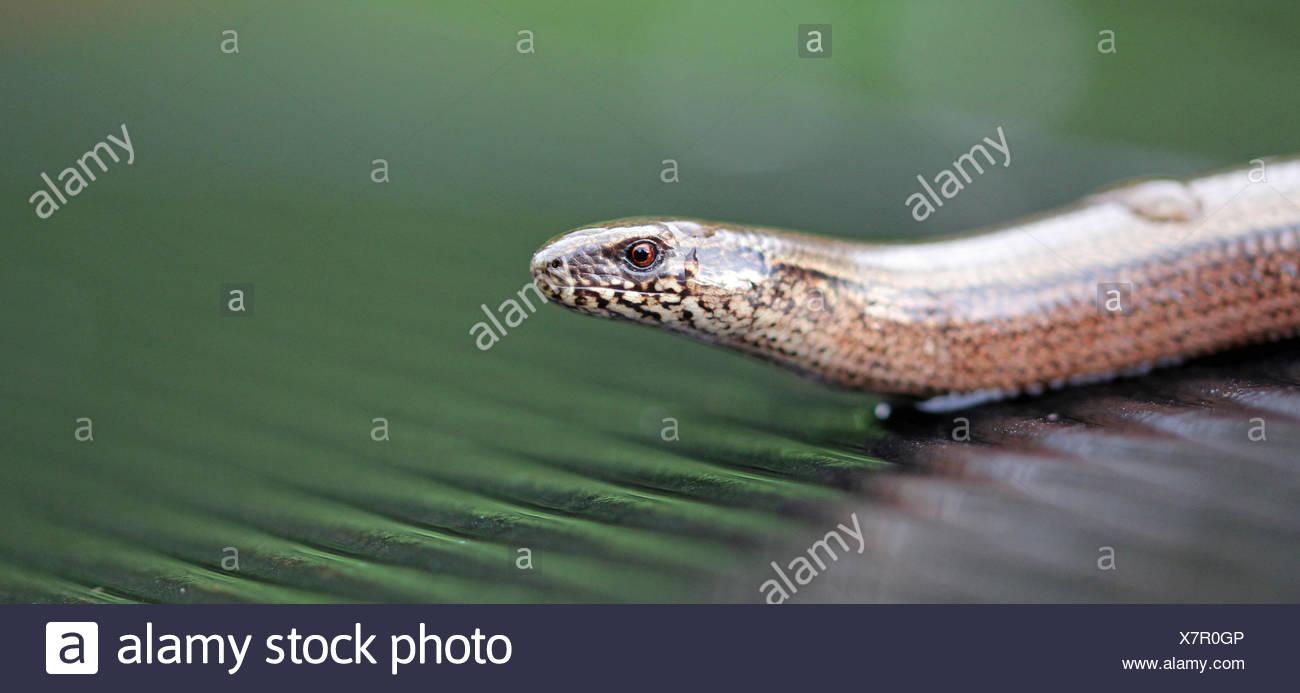 Blindworm Portrait Stock Photo