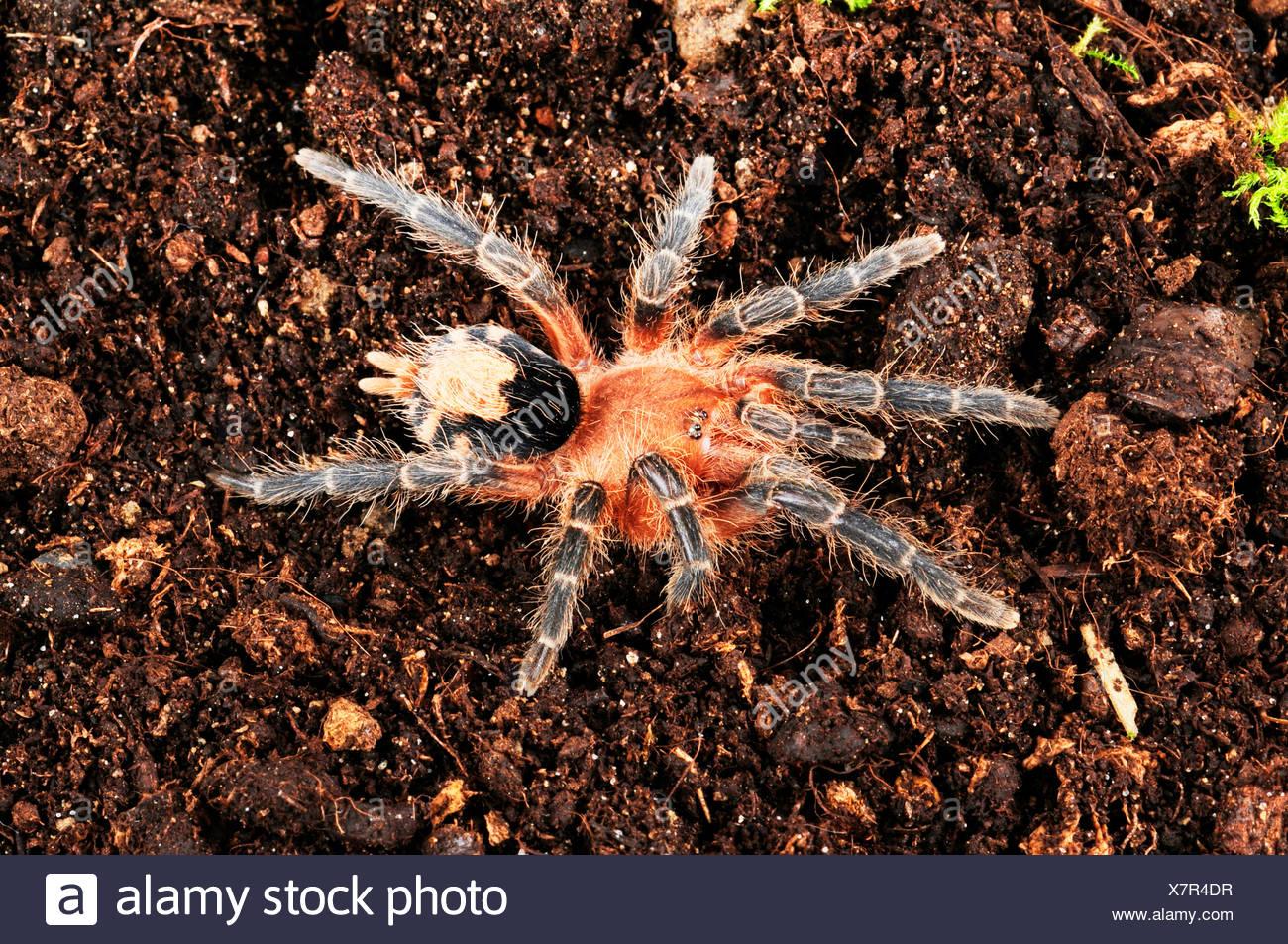Bolivian Dwarf Beauty (Cyriocosmus perezmilesi), in terrarium, Bolivia - Stock Image