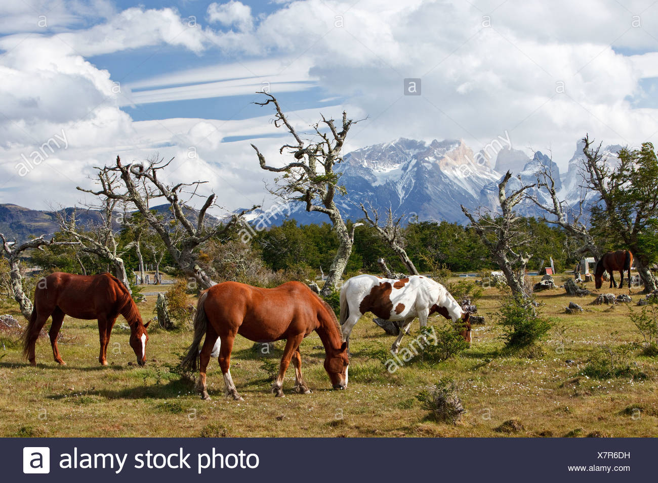 Grazing horses on a green meadow in front of the Cuernos del Paine granite mountains, Torres del Paine National Park, Thyndal, - Stock Image
