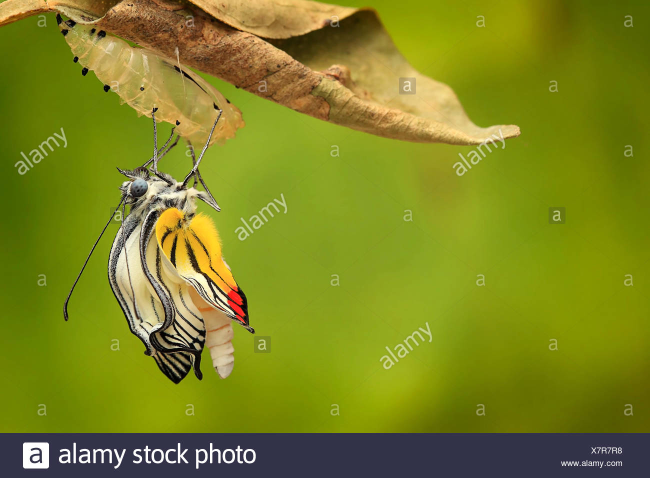 Indonesia, Jember, Butterfly (delis hyparete) emerging from cocoon - Stock Image