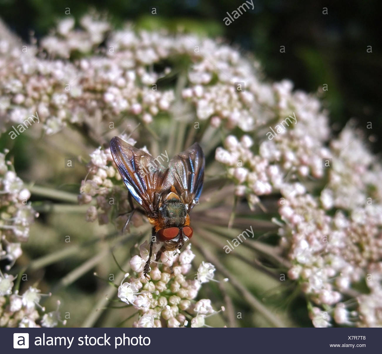 fly on wild carrot flower in sunny ambiance - Stock Image