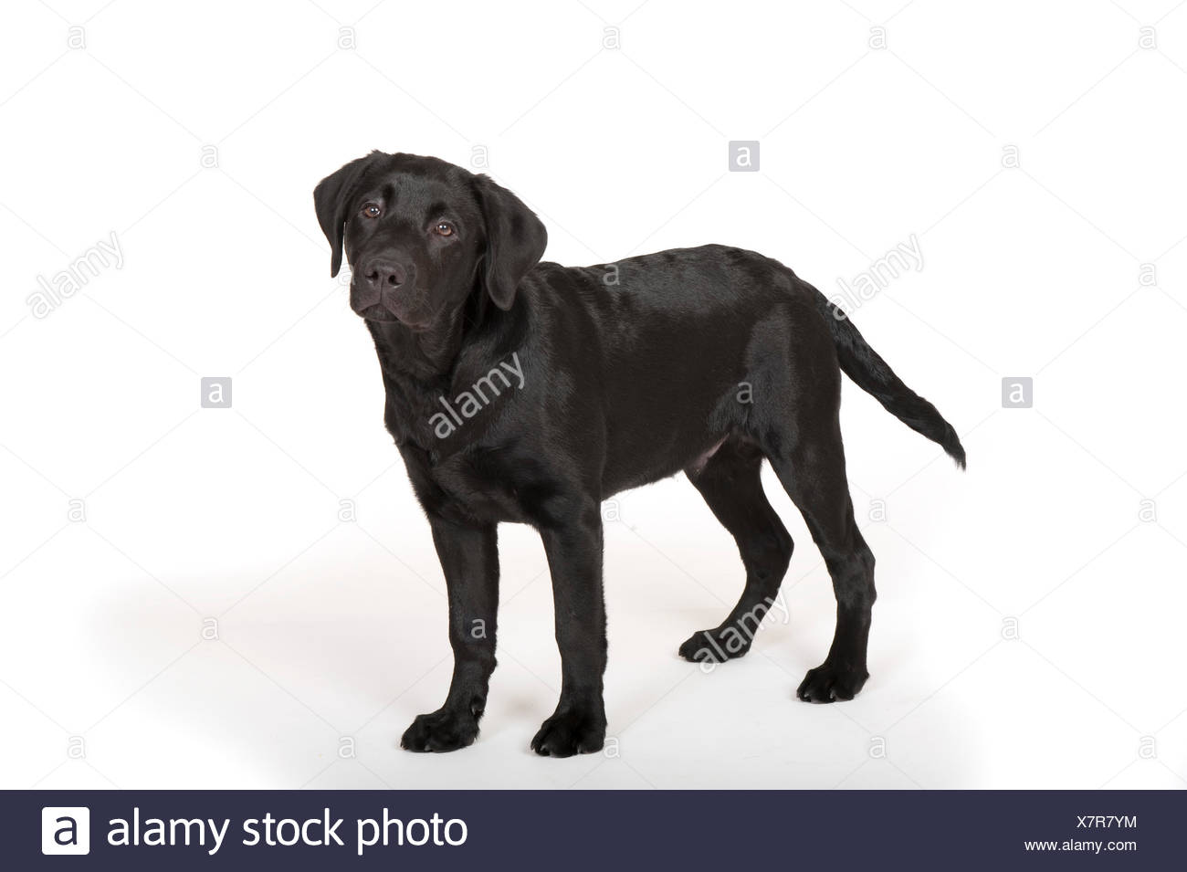 Labrador Dog 4 Months Old In Studio Uk Black Colour Puppy Standing Looking Alert Stock Photo Alamy