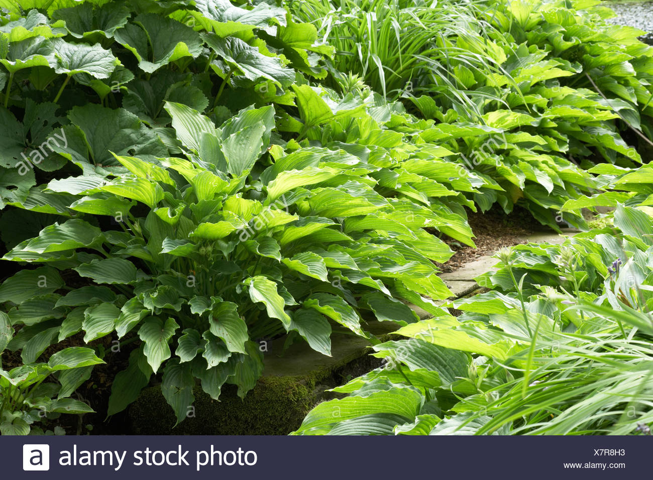 Small Rill In A Woodland Garden Planted With Various Hosta