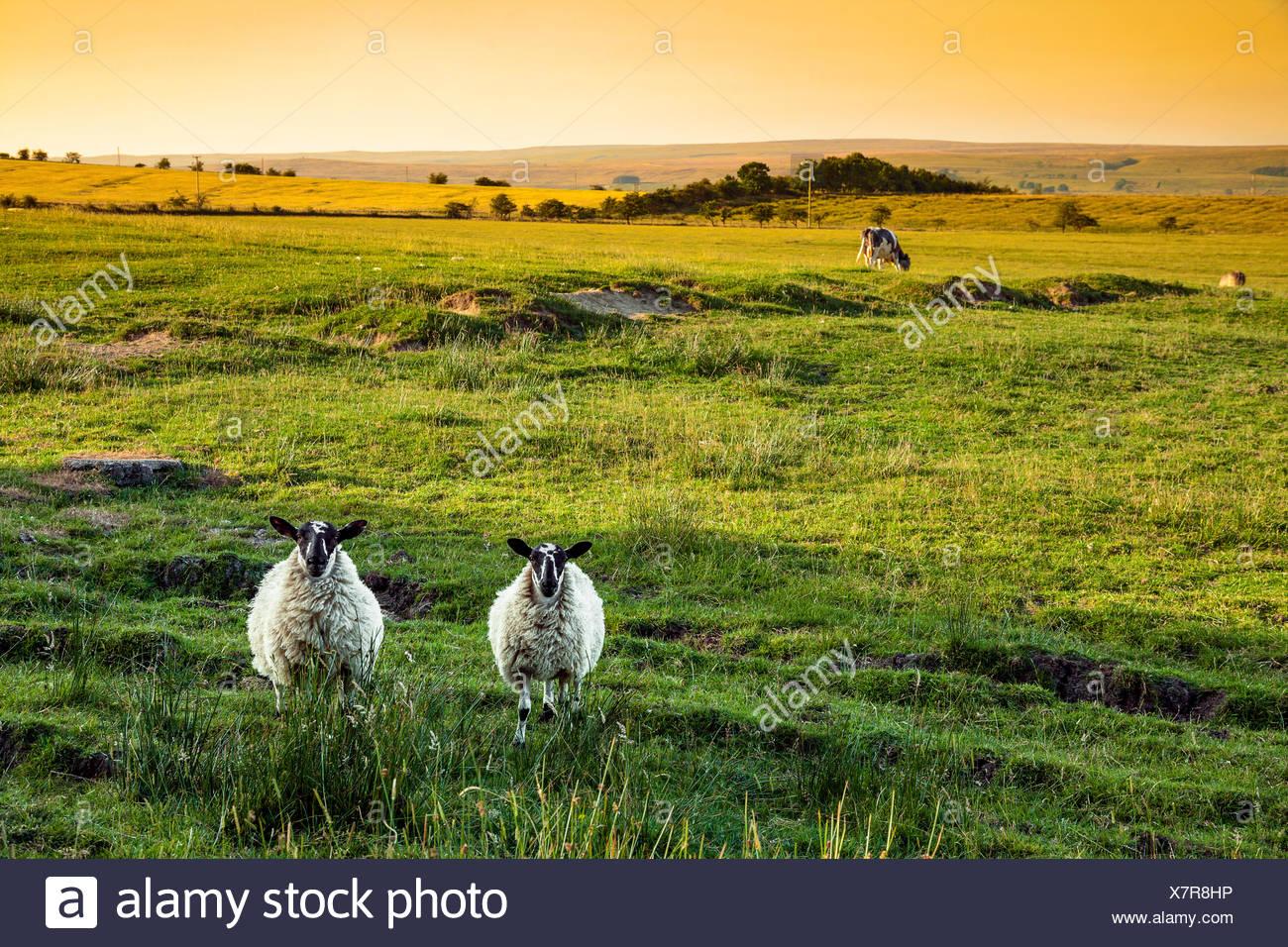 scottish blackface sheep lambs stock photos amp scottish