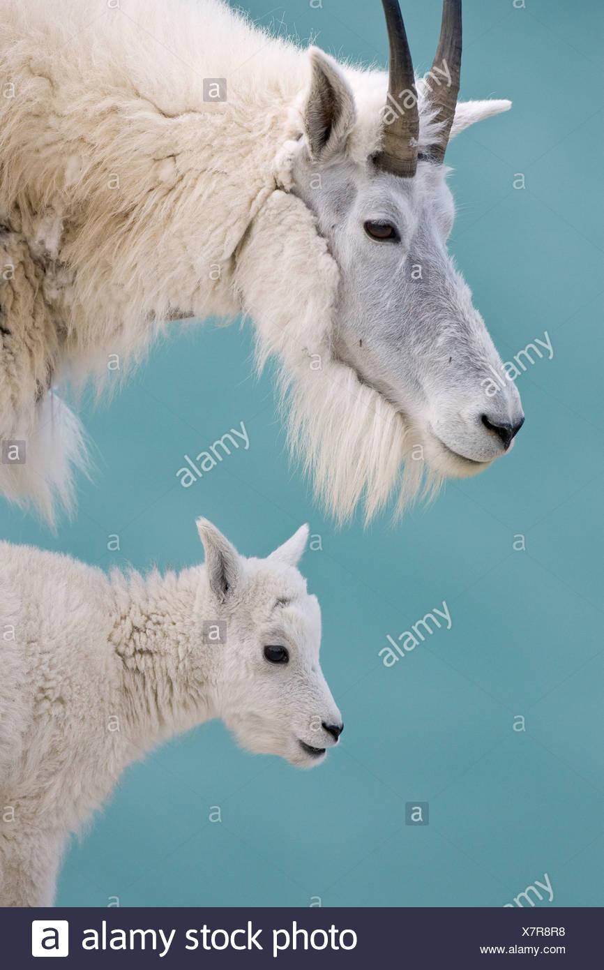 Mountain goat (Oreamnos americanus), nanny and kid, Jasper National Park, Alberta, Canada. - Stock Image