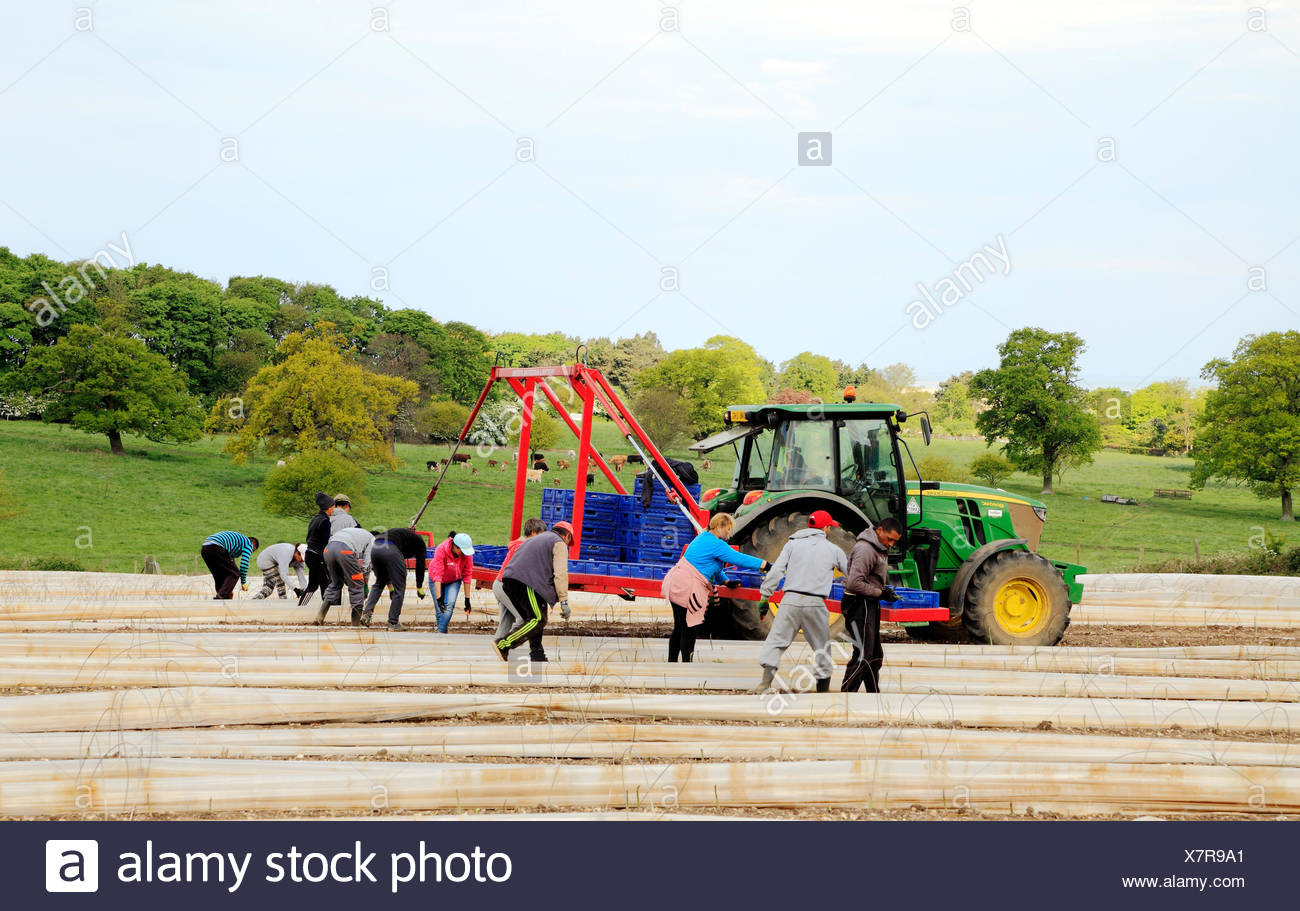 Immigrant casual agricultural labourers working on Asparagus field, Norfolk, UK 3 - Stock Image