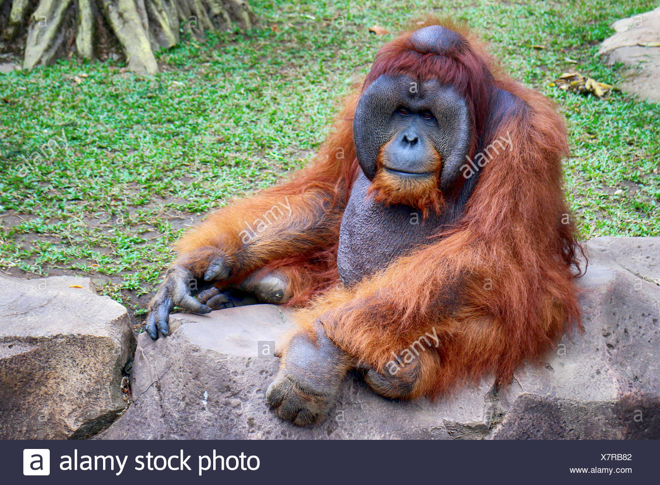 Orangutan Sitting On Retaining Wall On Field - Stock Image
