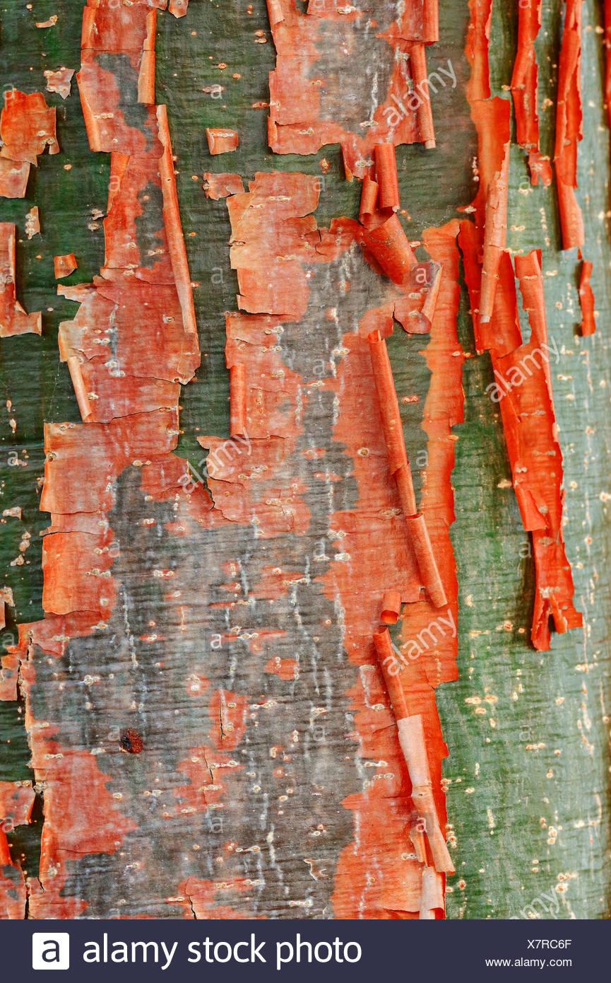 Gumbo-limbo, Copperwood or Chaca (Bursera simaruba), detail of bark, Sanibel Island, Florida, United States - Stock Image