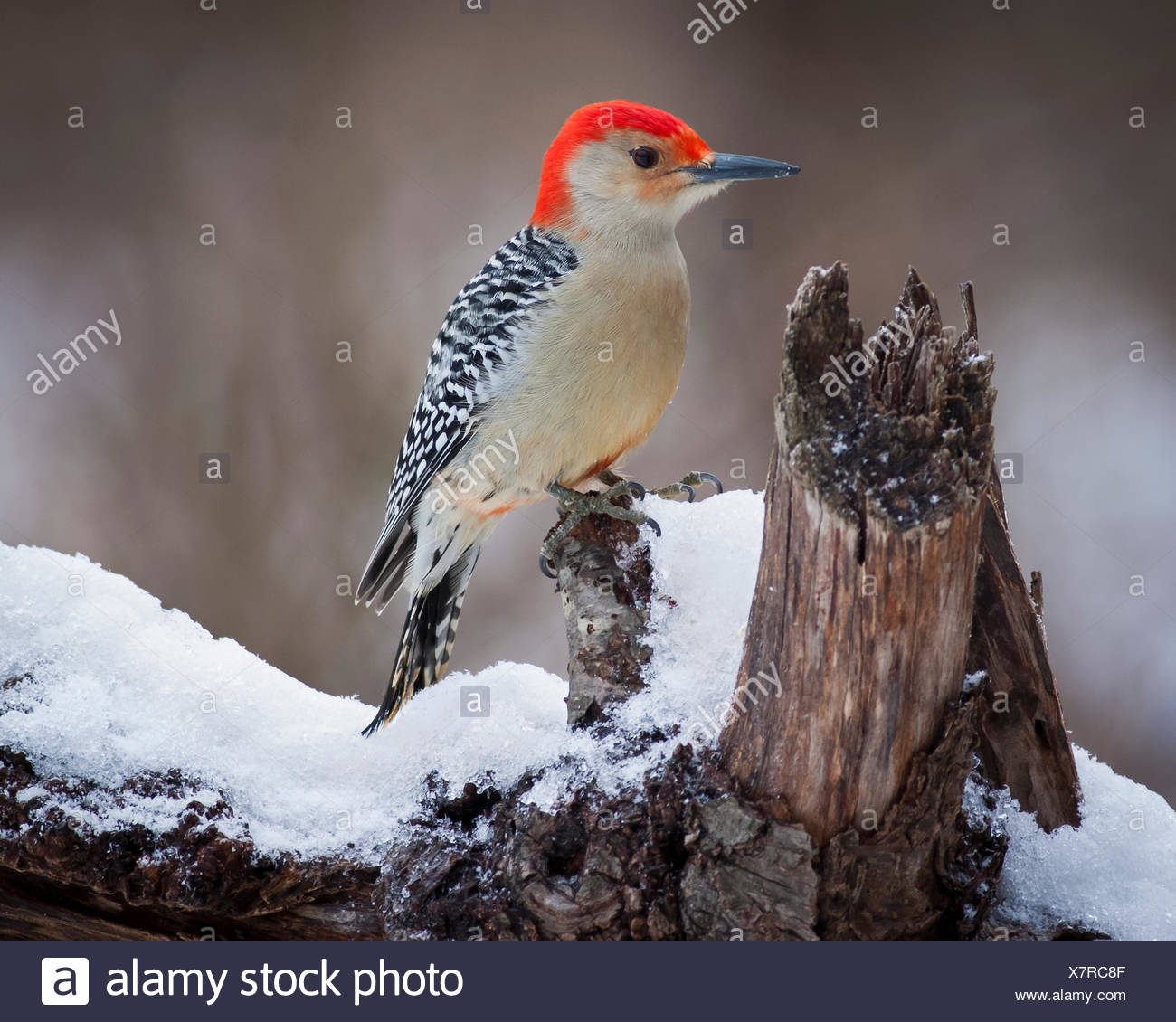 Red Headed Woodpecker perching on a branch covered in snow. - Stock Image