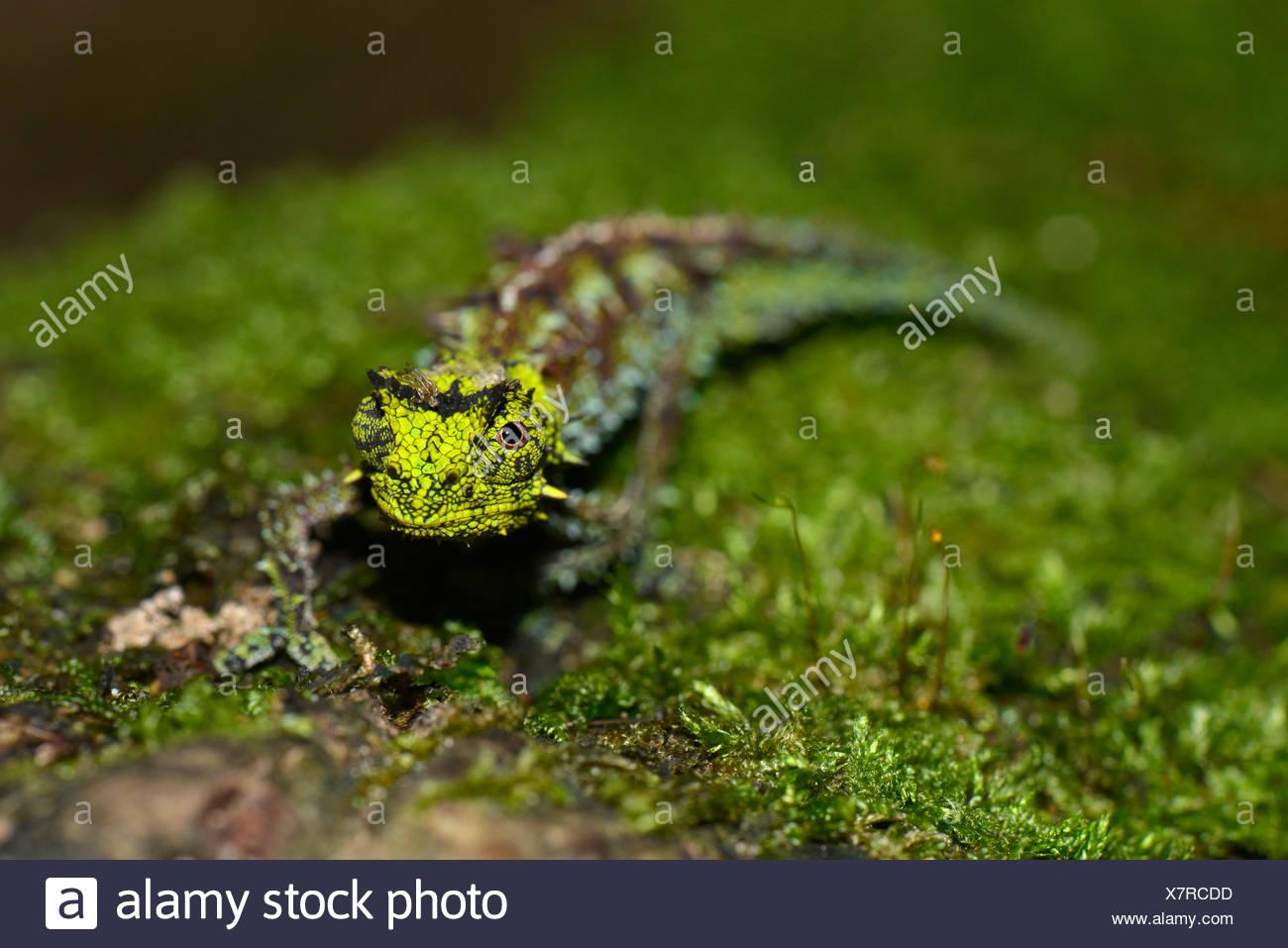 Iaraka River Leaf Chameleon (Brookesia vadoni), male in the rainforests of Marojejy National Park, Madagascar - Stock Image