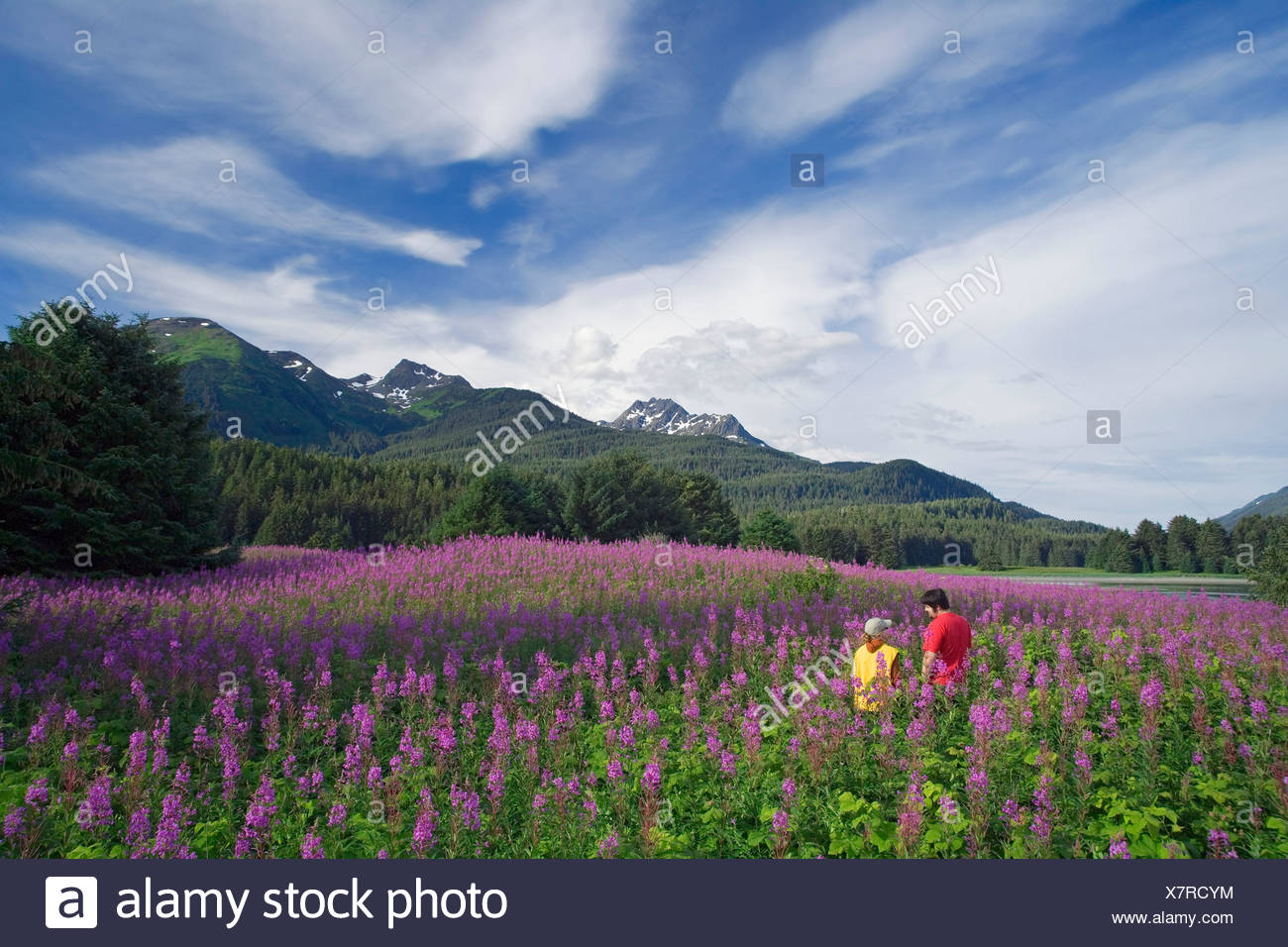 Couple hiking among Fireweed Admiralty Is Tongass National Forest Southeast Alaska Summer - Stock Image