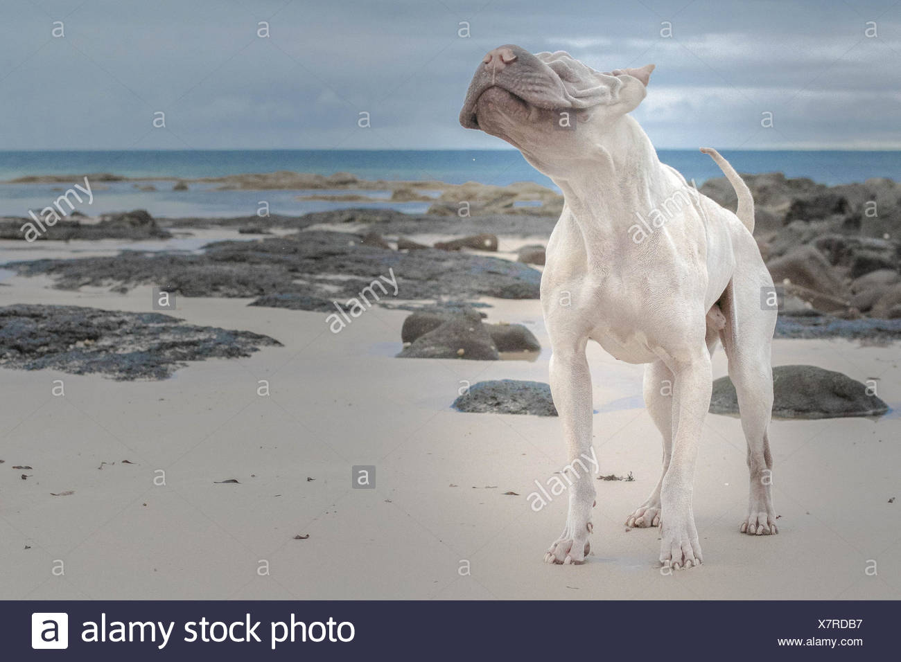 Hairless Shair-pei standing on beach - Stock Image